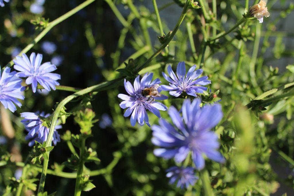 vrt vrtičkanje samooskrba palla rossa radič seme čebele mednosne rastline hiša ob gozdu