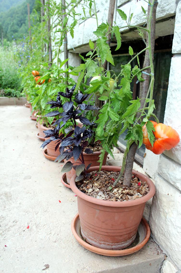 paradižnik v loncu gojenje paradižnika kako saditi paradižnik
