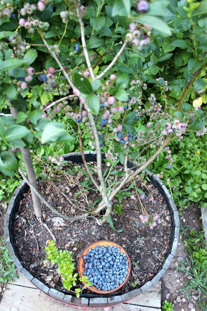 ameriške borovnice v loncu kako gojiti gojenje hiša ob gozdu