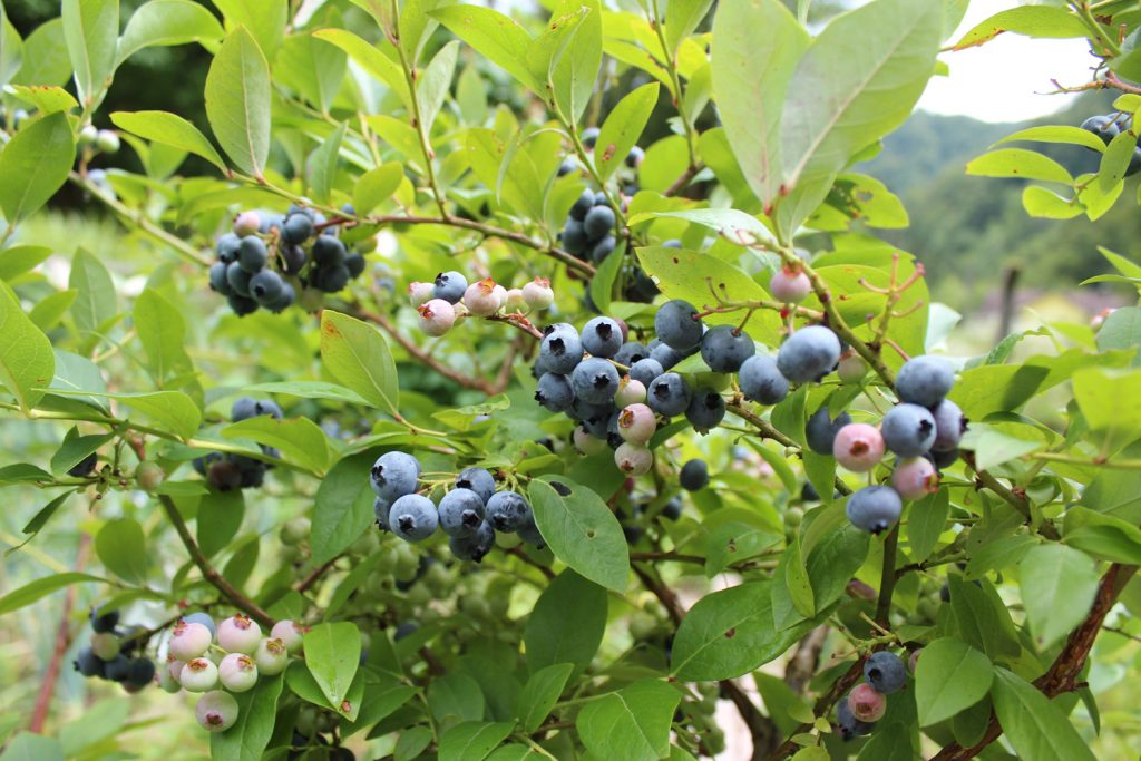 ameriške borovnice gojenje kako gojiti hiša ob gozdu