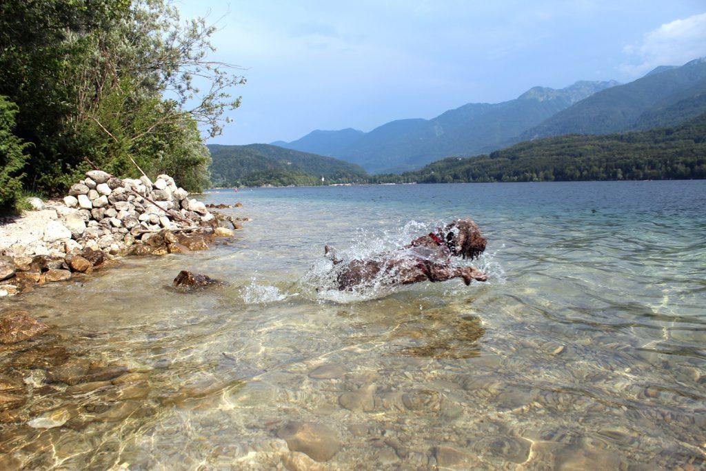 izlet v bohinj bohinjsko jezero plavanje s psom lagotto rmagnolo romanski vodni pes